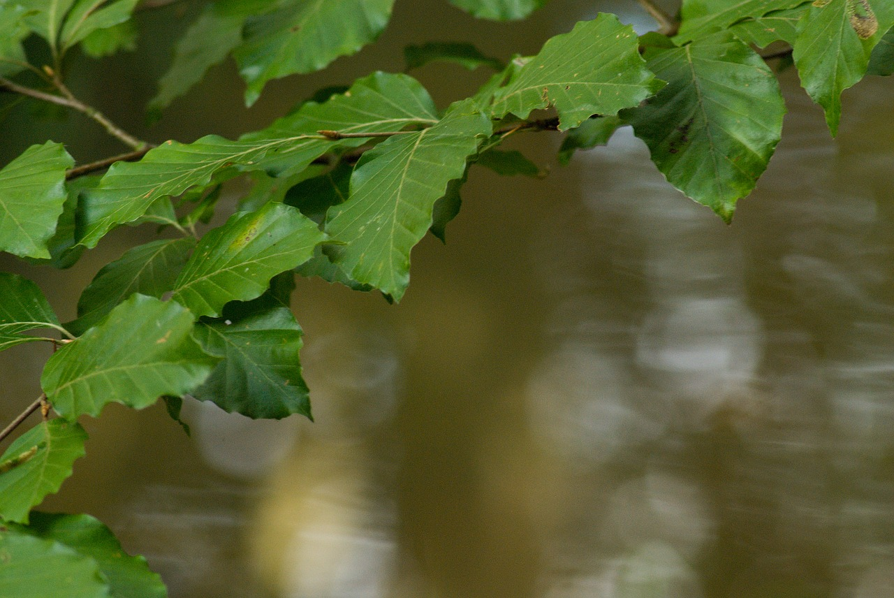 beech,foliage,beech forest,branches,nature,branch,water,reflections,green,free pictures, free photos, free images, royalty free, free illustrations, public domain