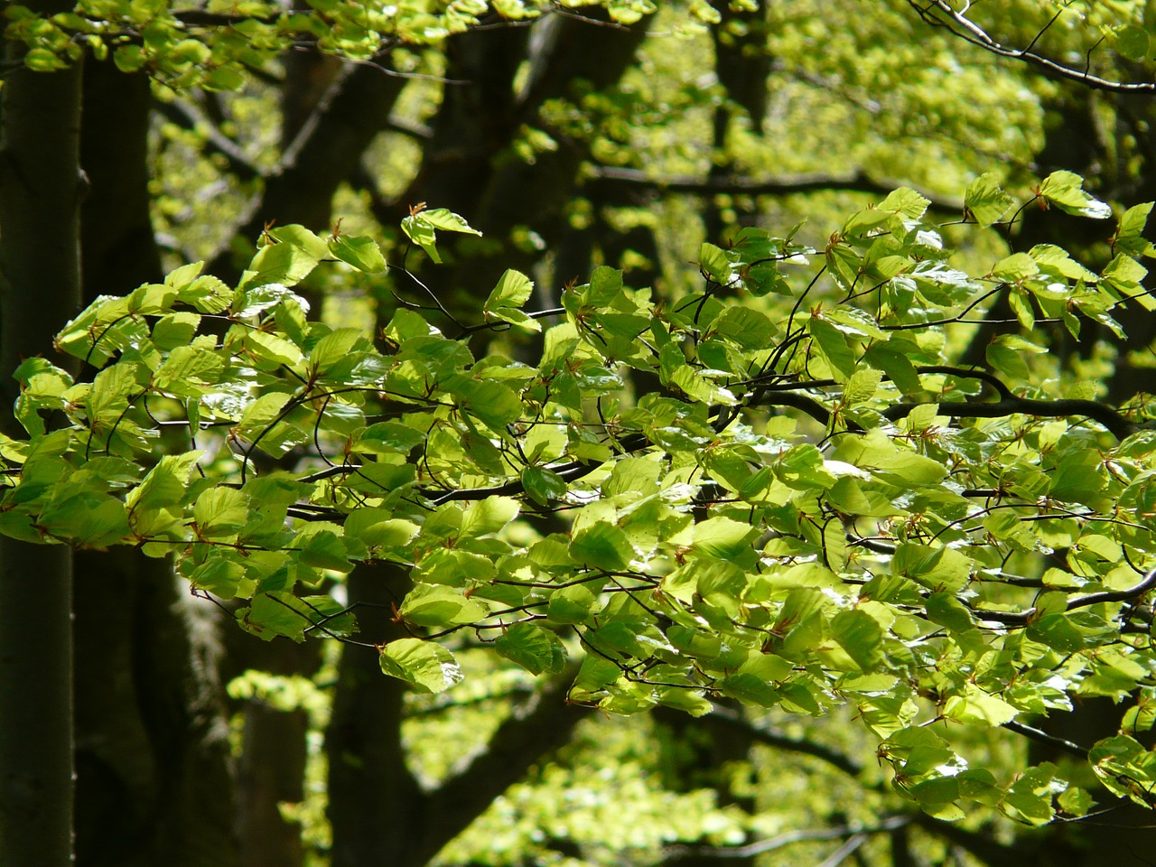 beech beech leaves forest free photo
