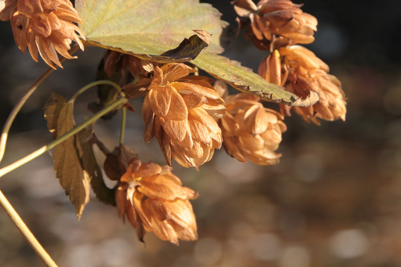beer flowers hops free photo