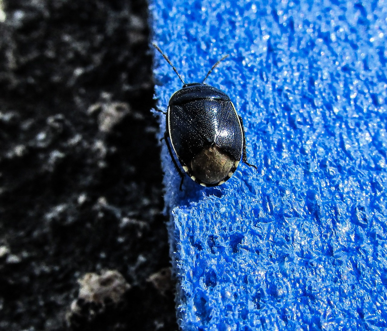 beetle blue colour free photo
