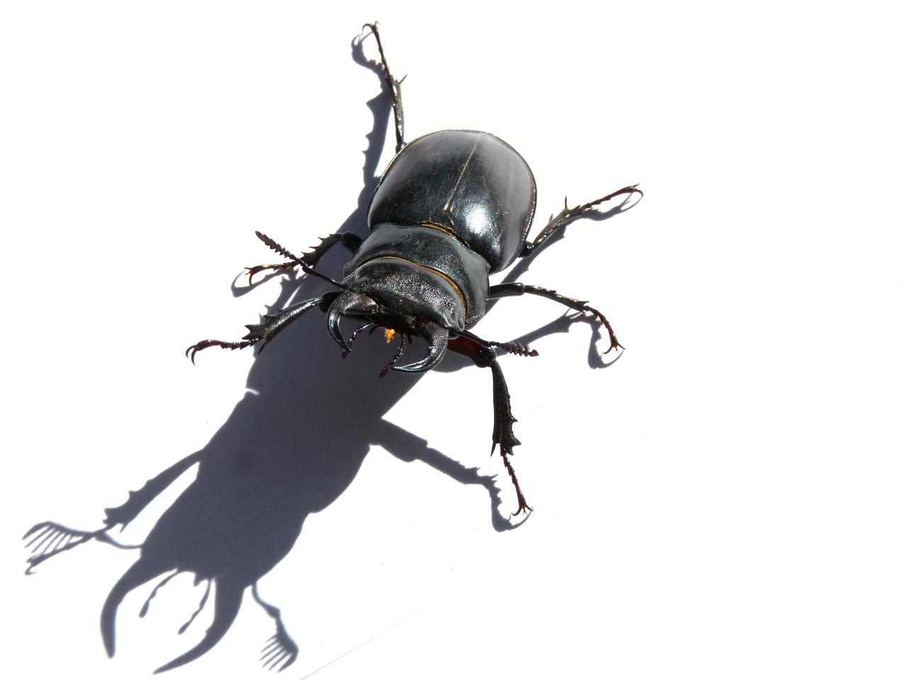 beetle lucanus cervus stag-beetle free photo