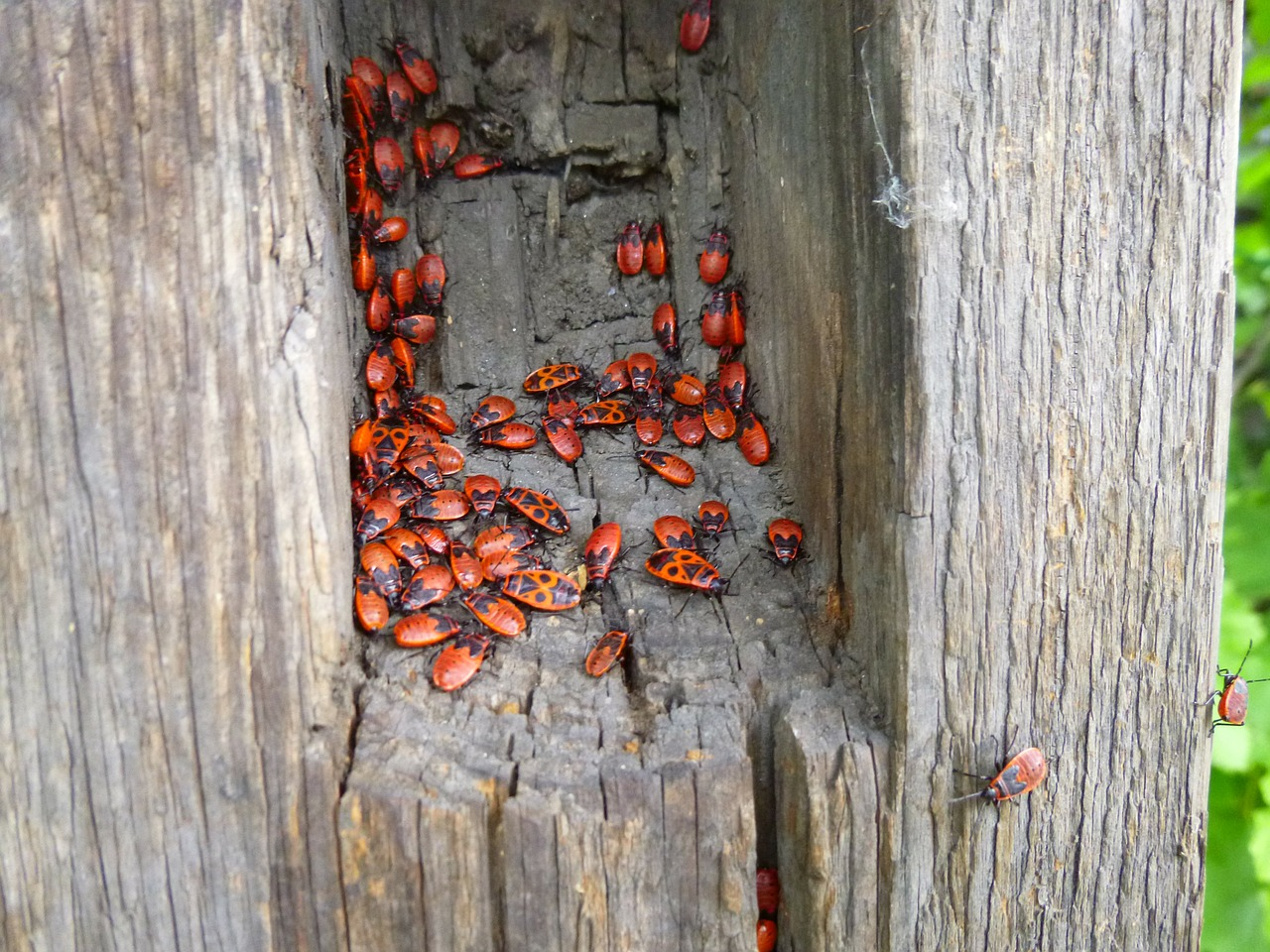 beetle red tree lair free photo
