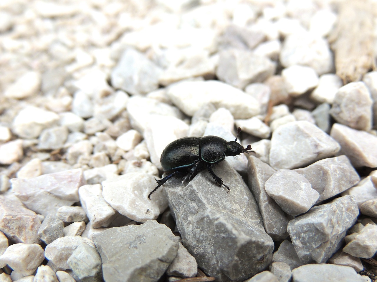 beetle black beetle insect free photo
