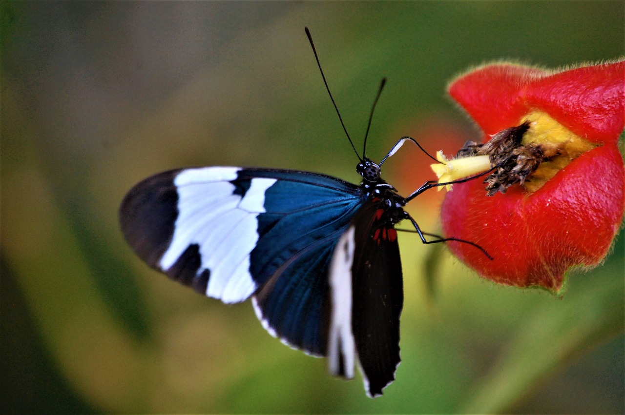 belize  toledo district  butterfly free photo