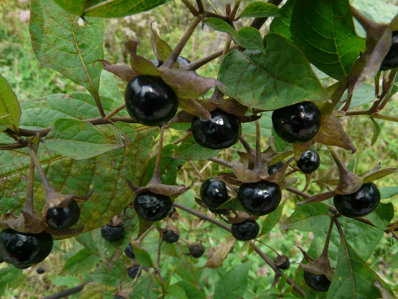 belladonna cherry plant free photo