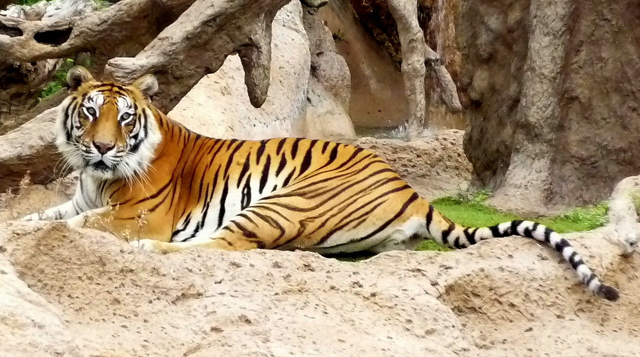 bengal captivity hybrid free photo