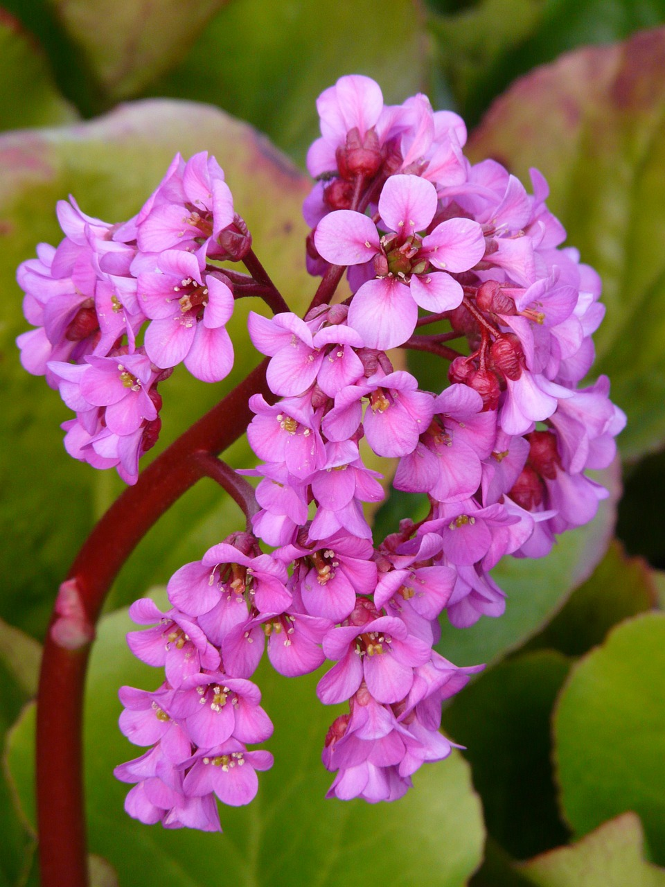 bergenia,settled wurz,rock crushing plant,herb,pink,purple,color,colorful,flower,blossom,bloom,fauna,ornamental shrub,rock plants,free pictures, free photos, free images, royalty free, free illustrations, public domain