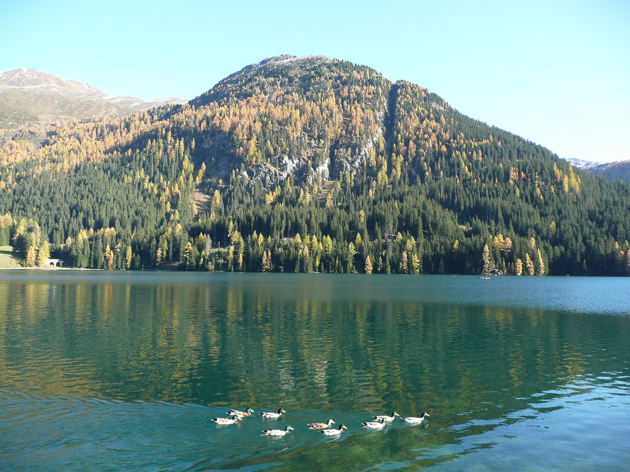 bergsee ducks lake free photo