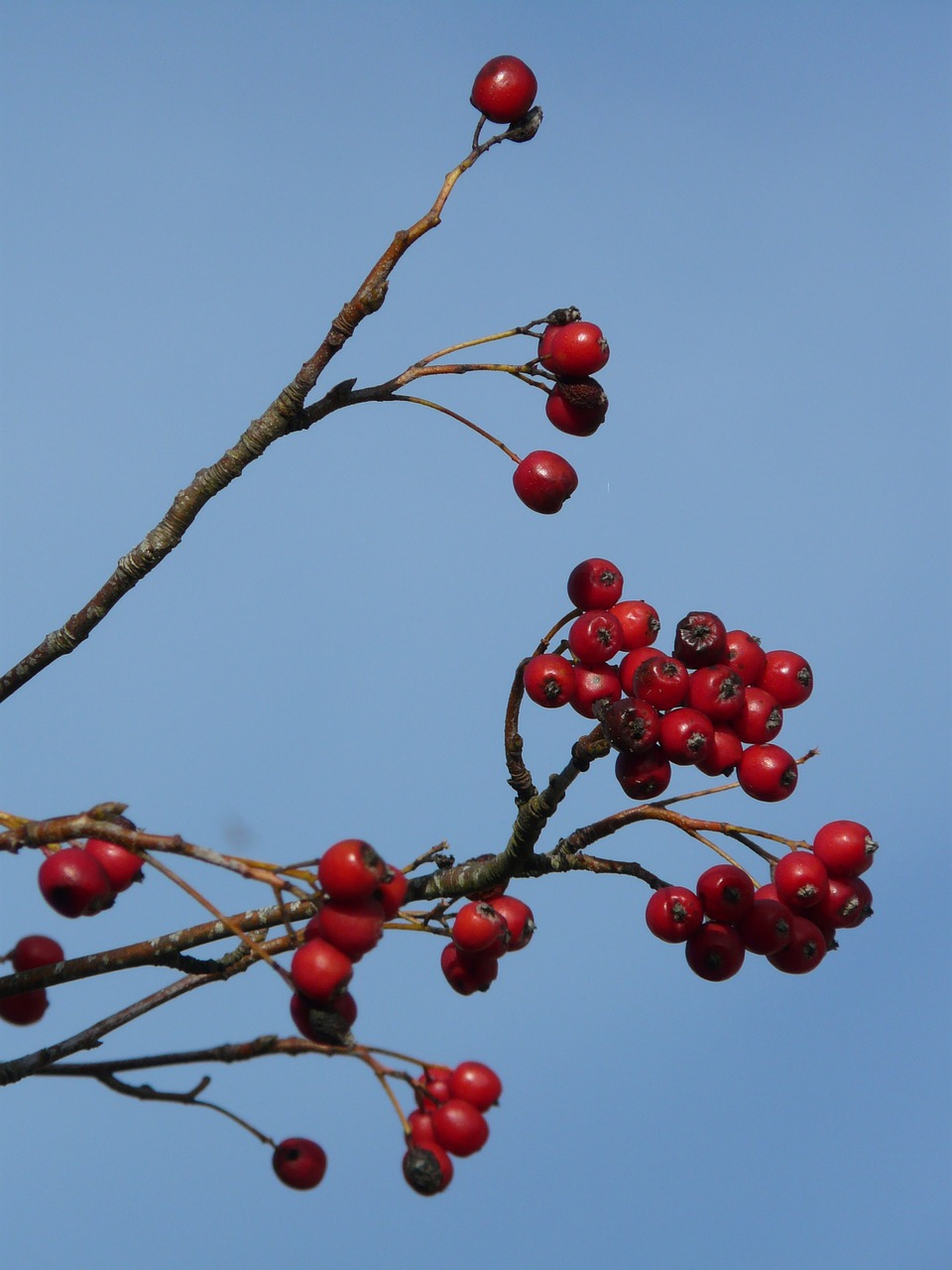 berries fruits red free photo