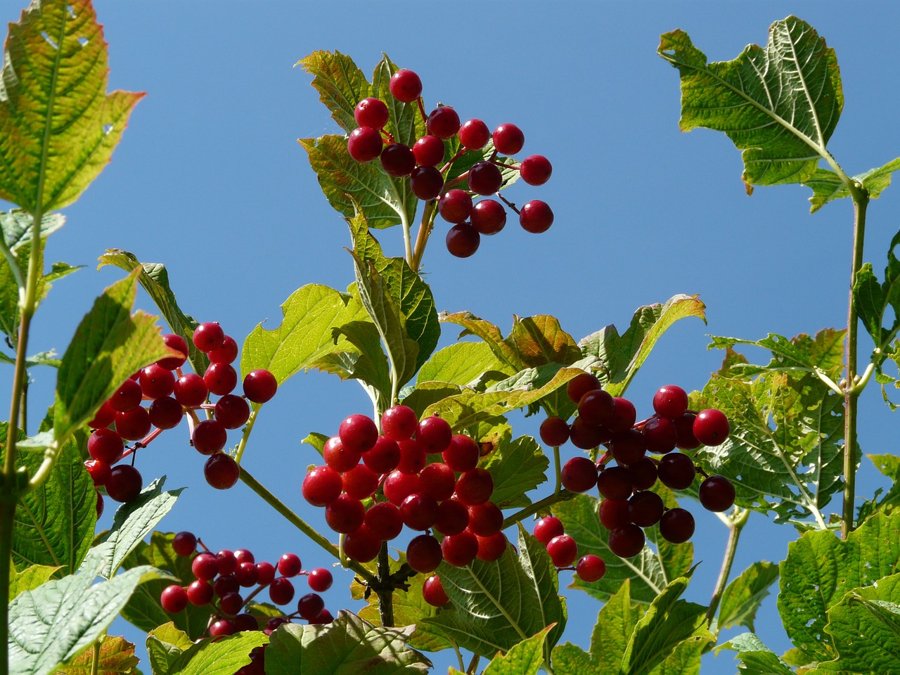 berries ordinary snowball red free photo