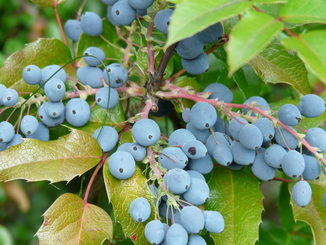 berries blue fruit free photo