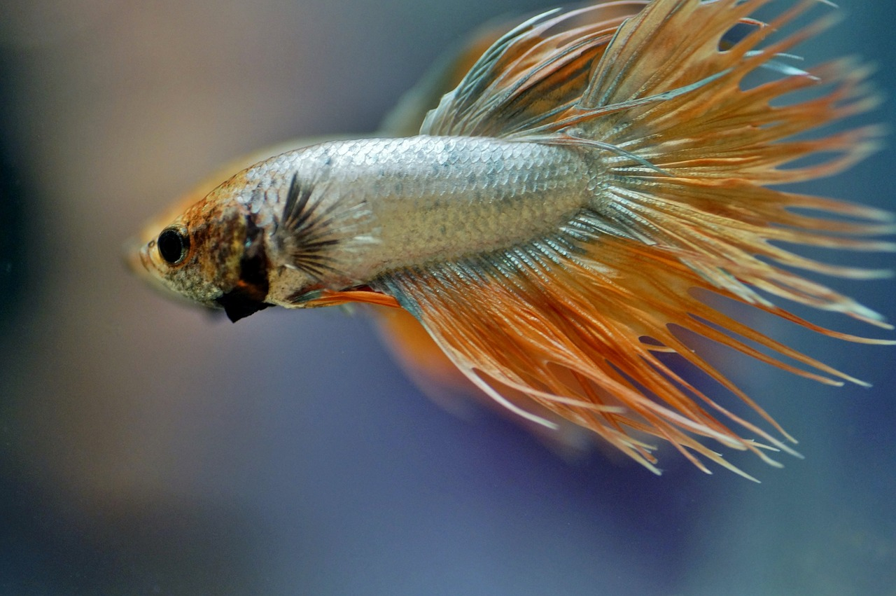 betta, warrior, aquarium, fishy, tropical, exotic, asian, male, beta, veils, aggressive, freshwater, fish,free pictures, free photos, free images, royalty free, free illustrations, public domain
