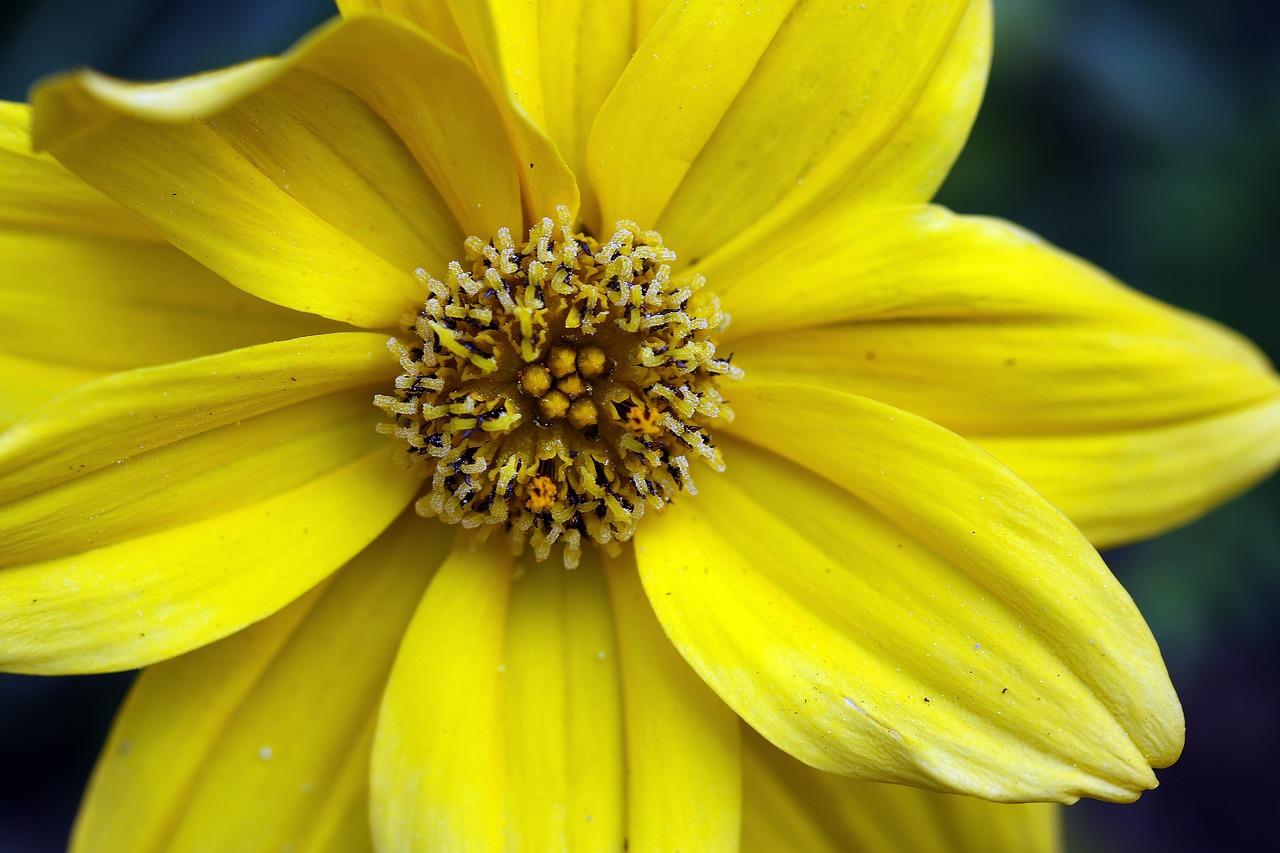 Bidens frondosayellow flowerthe flower on the balconypotted bidens frondosa yellow flower the flower on the balcony mightylinksfo