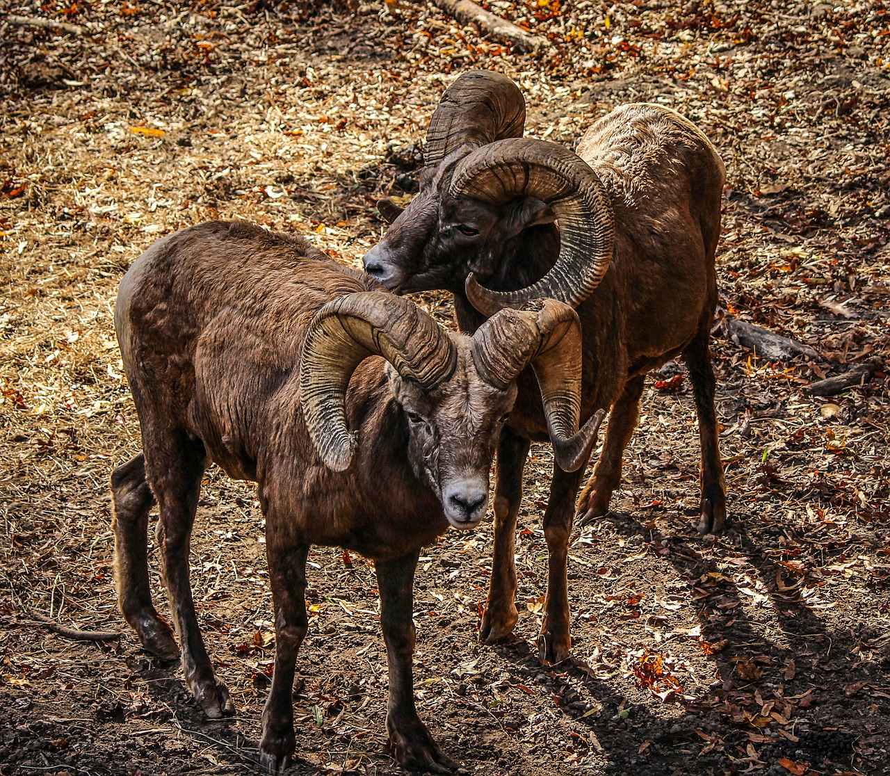 bighorn sheep ovis canadenis rocky mountain sheep free photo