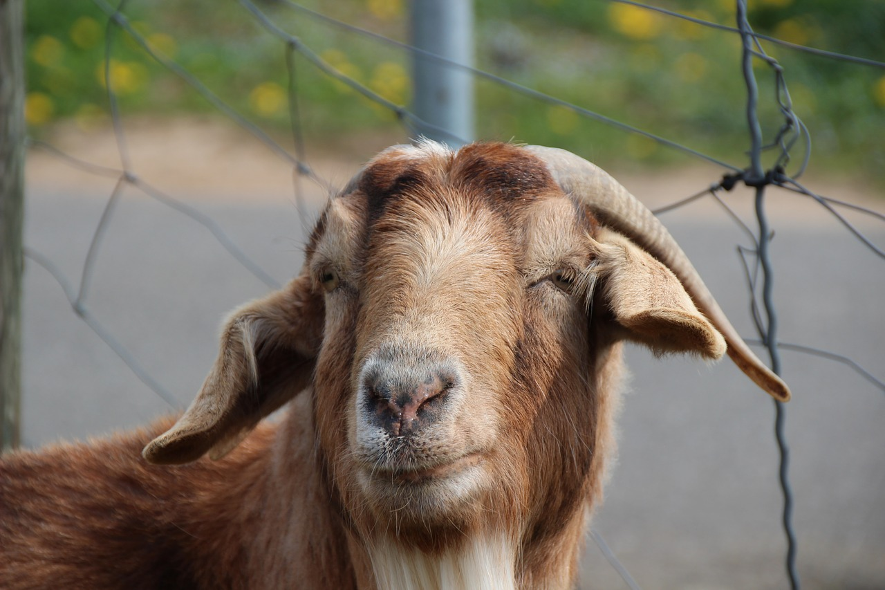 billy goat,goat,horns,goatee,domestic goat,goat's head,face,ruminant,goat buck,animal portrait,free pictures, free photos, free images, royalty free, free illustrations, public domain