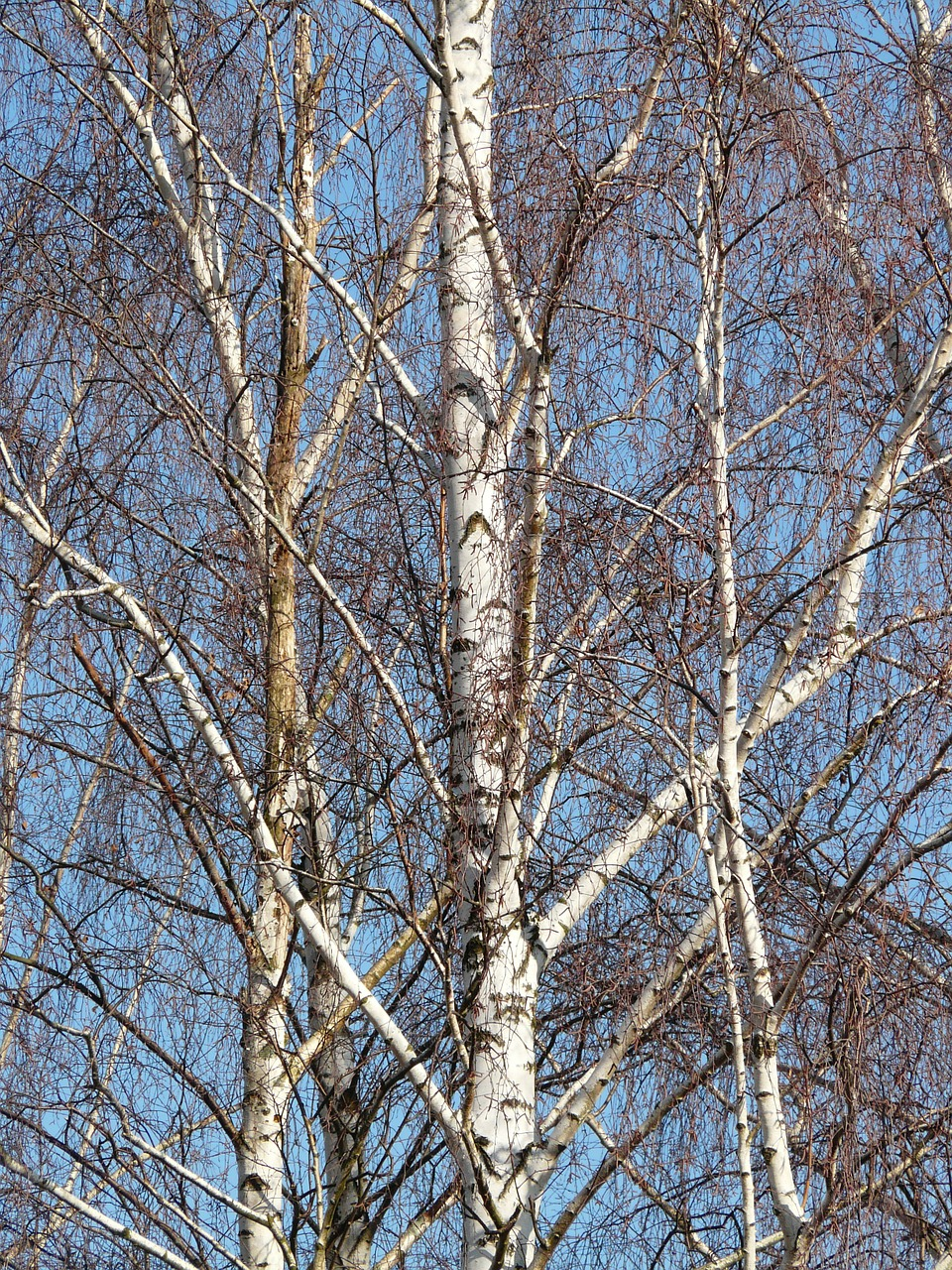 birch birch grove trees free photo