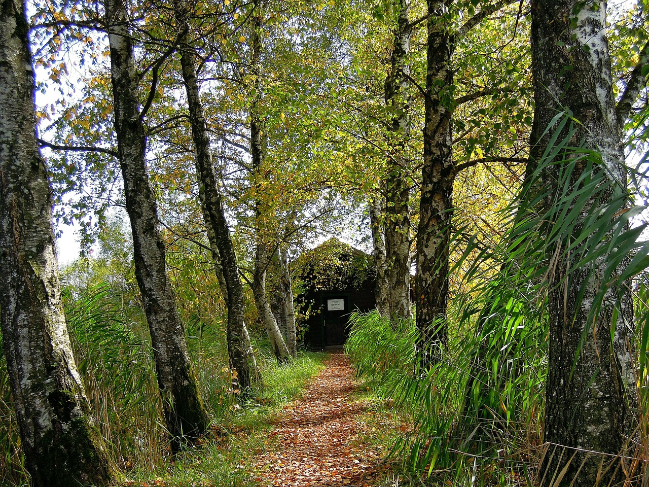 birch away hut free photo
