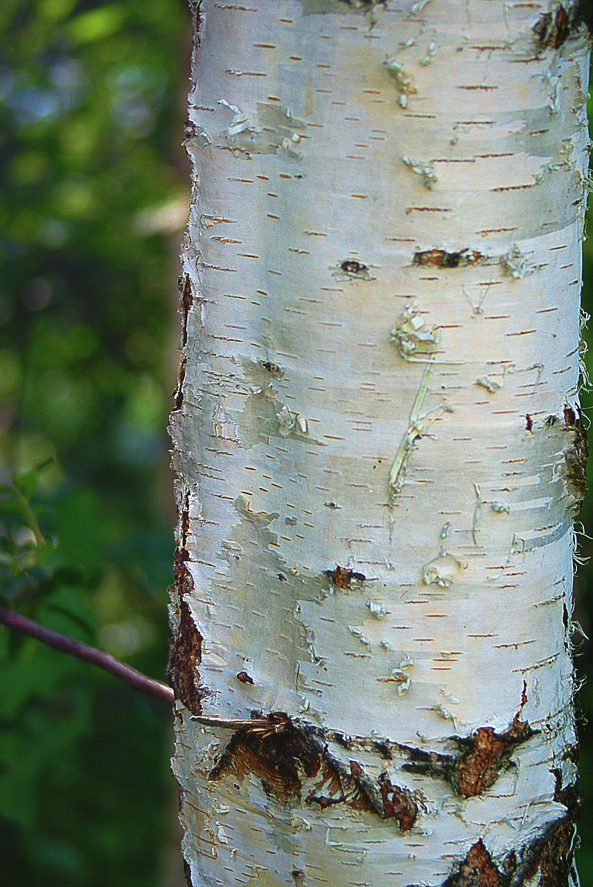 birch,trunk,birch trunk,the bark,white,plant,nature,cracks,speckles,tree,innocence,the delicacy,clear,biel,epidermis,summer,free pictures, free photos, free images, royalty free, free illustrations