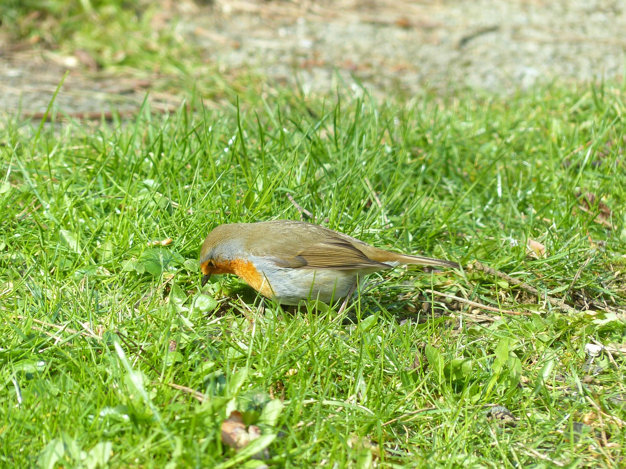 bird robin animal free photo