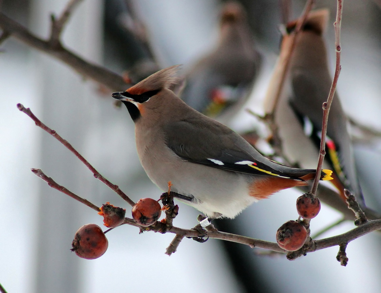 bird birds ringed bohemian waxwing free photo