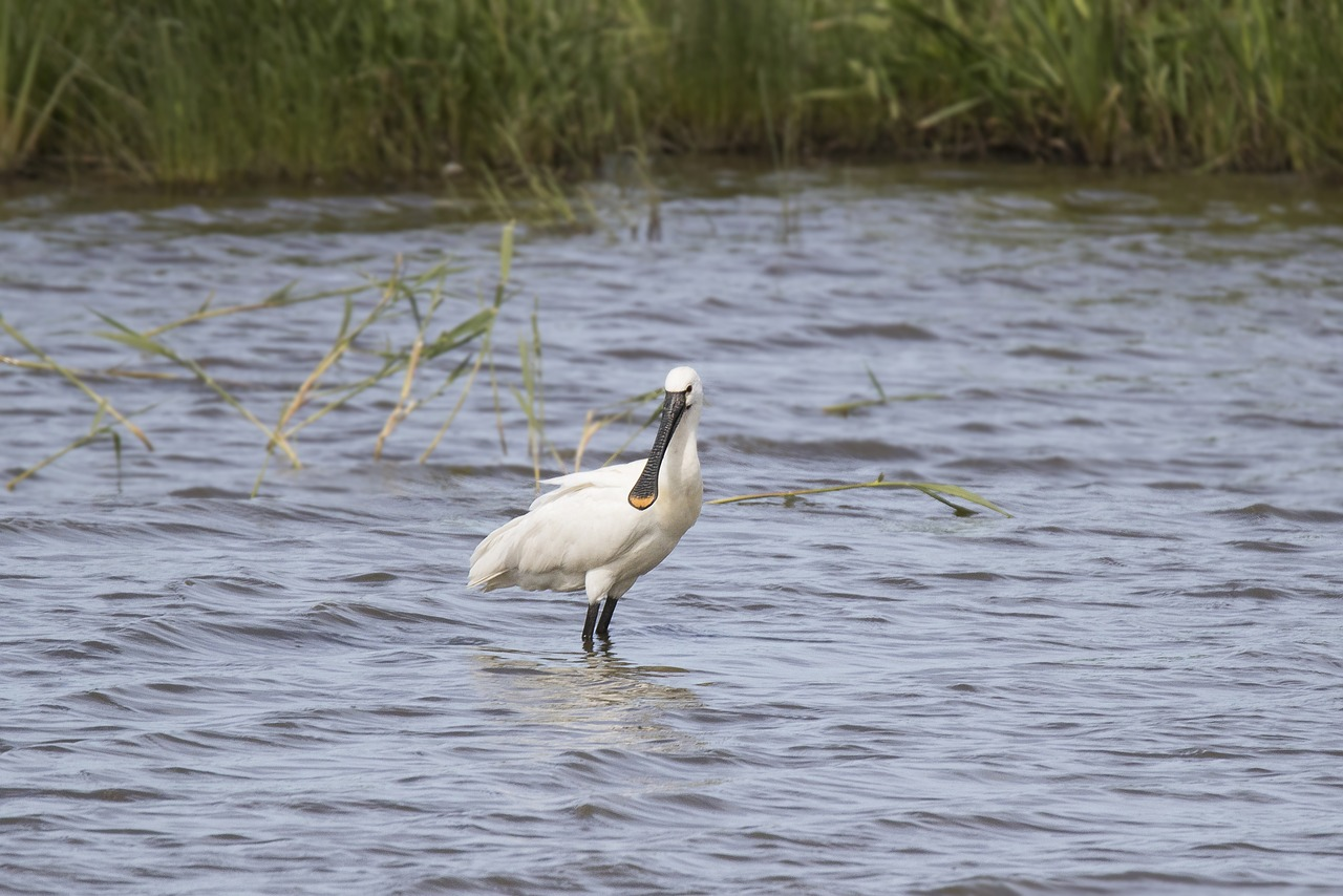 bird spoonbill natural free photo