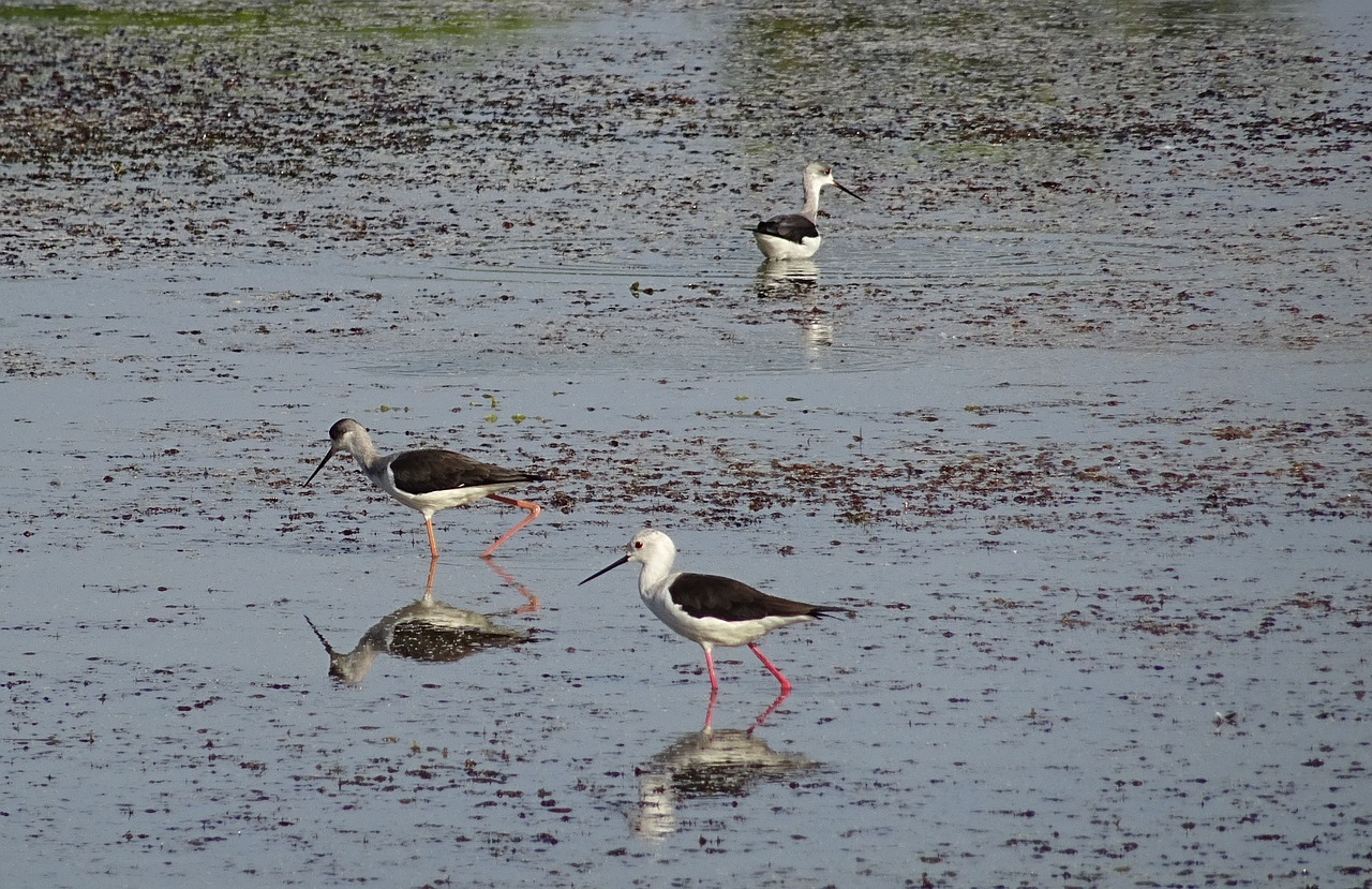 bird black-winged stilt common stilt free photo