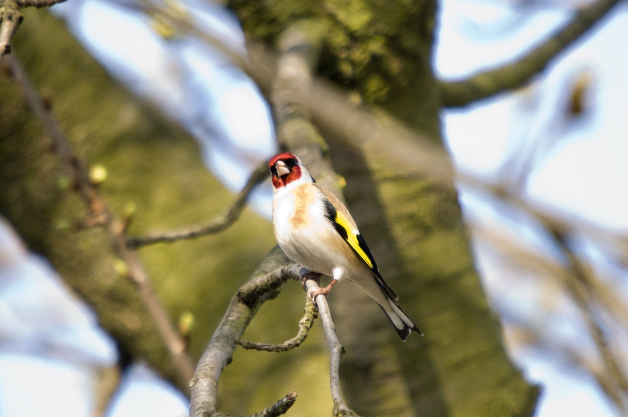 bird chetna sabharwal european goldfinch free photo