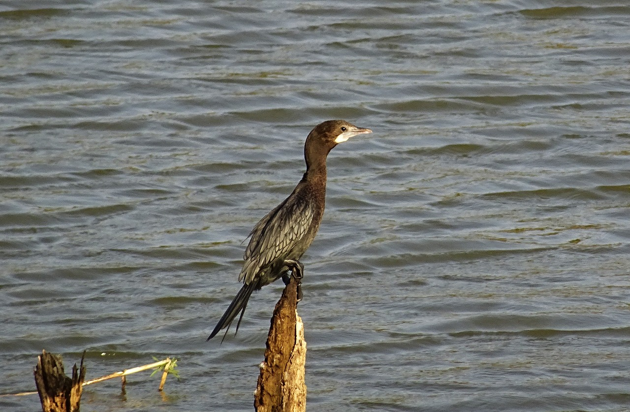 bird water bird little cormorant free photo