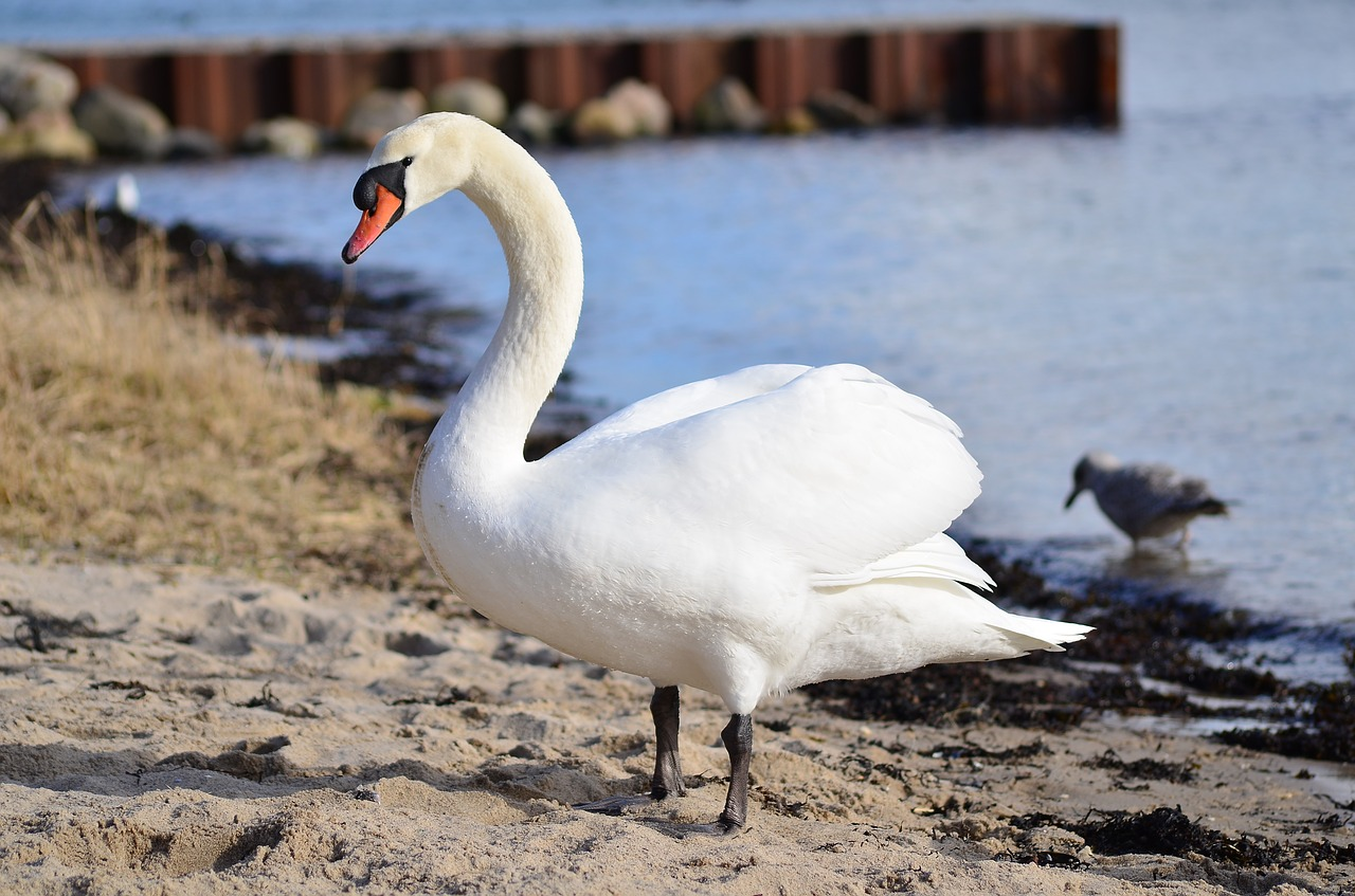 bird water swans free photo