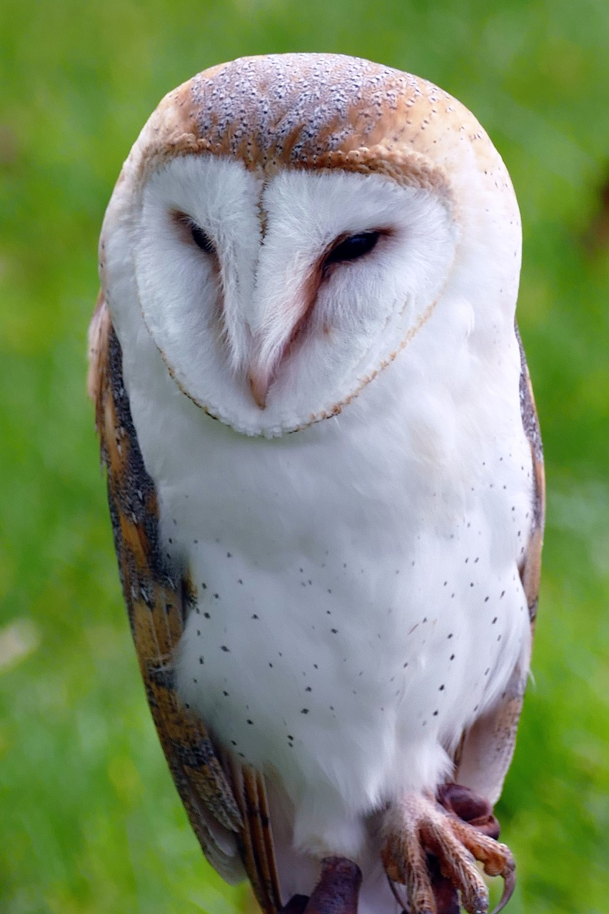 bird barn owl owl free photo