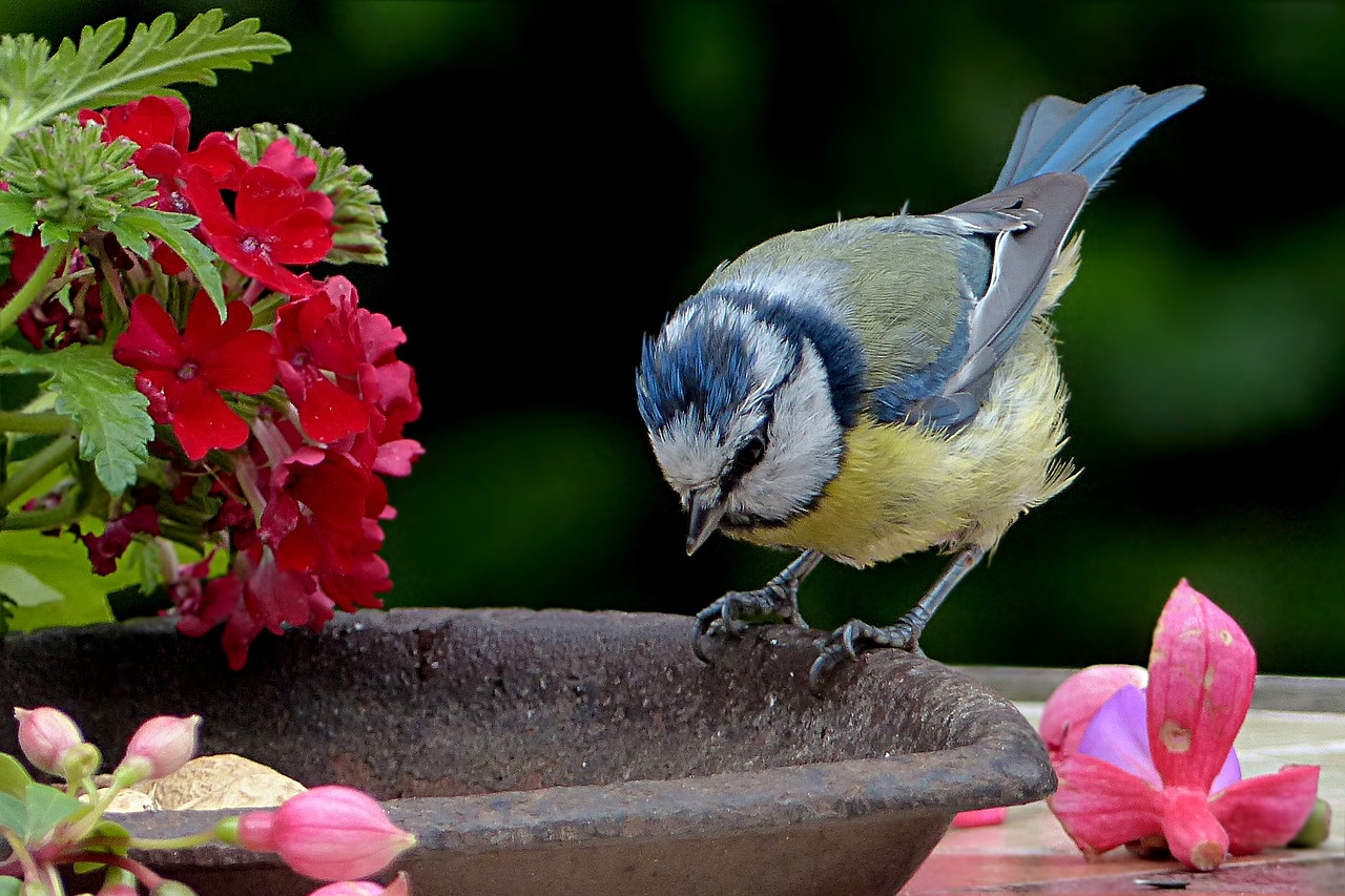 bird tit blue tit free photo