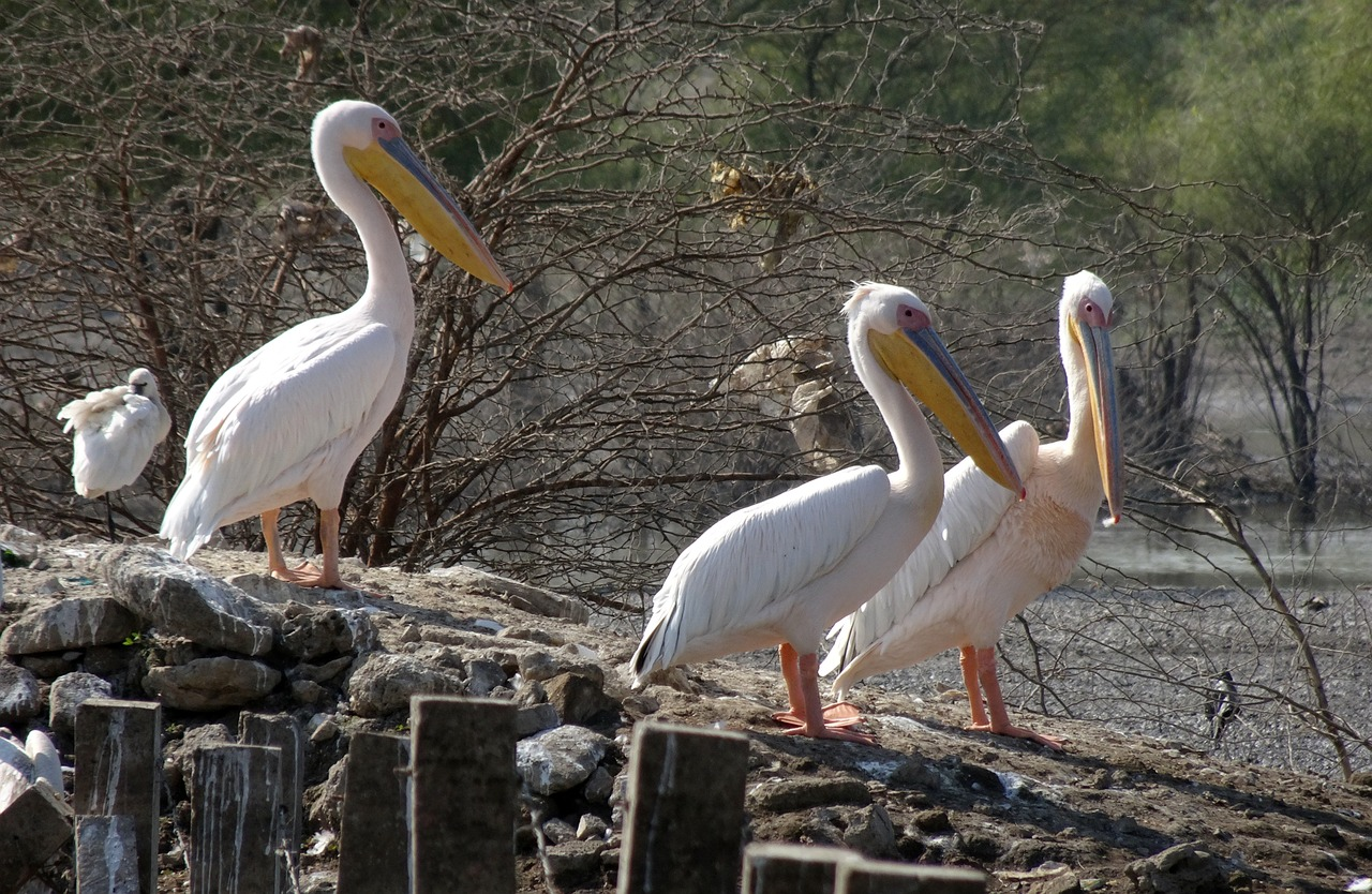 bird great white pelican pelecanus onocrotalus free photo