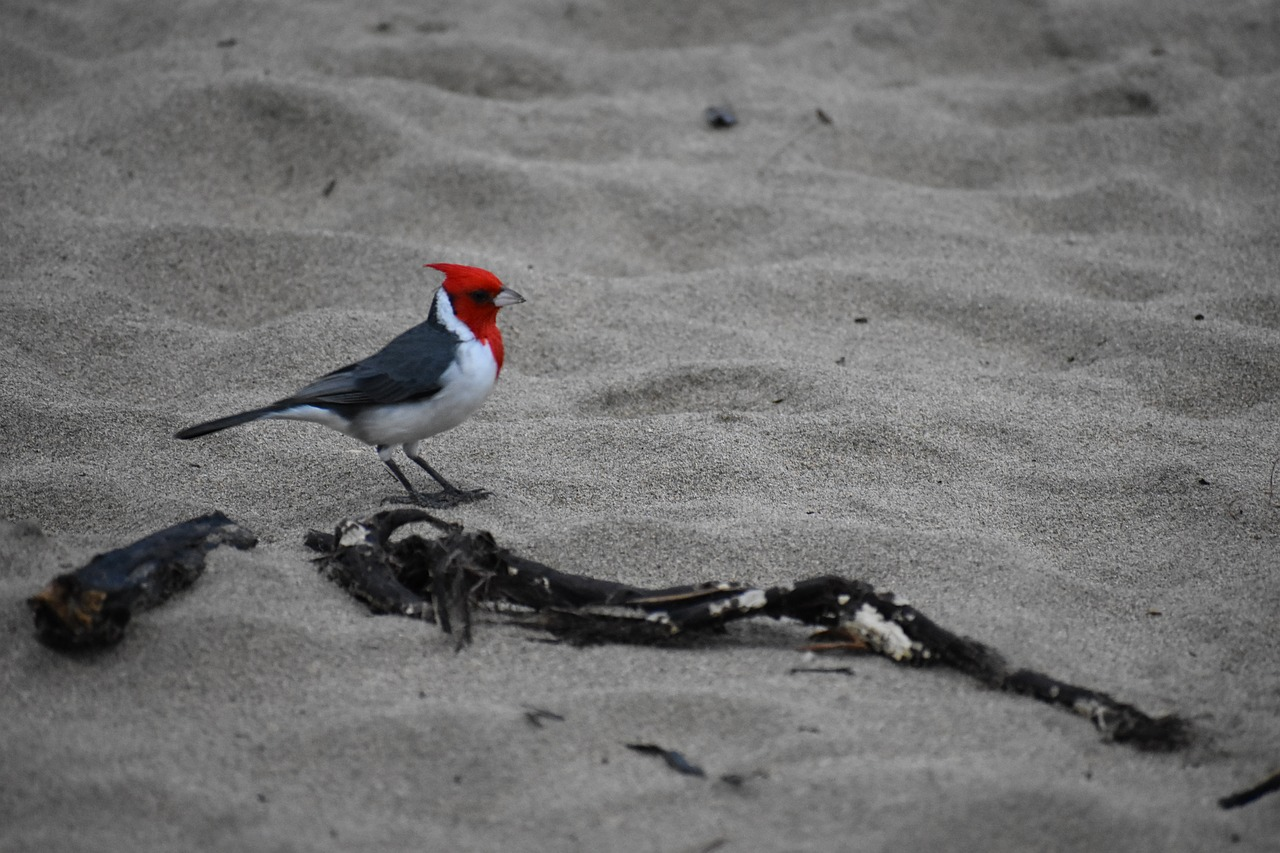 bird  red-crested cardinal  hanalei bay free photo