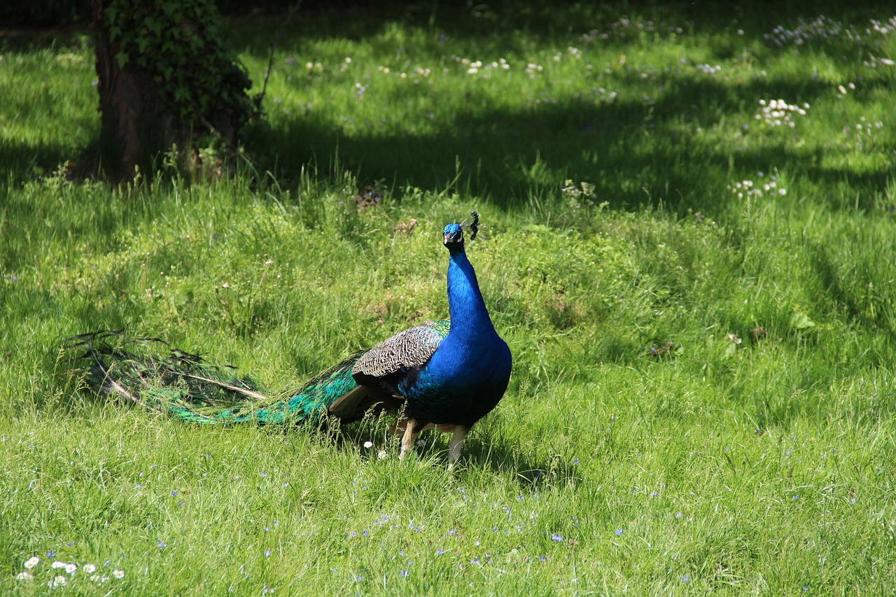 bird peacock lawn free picture