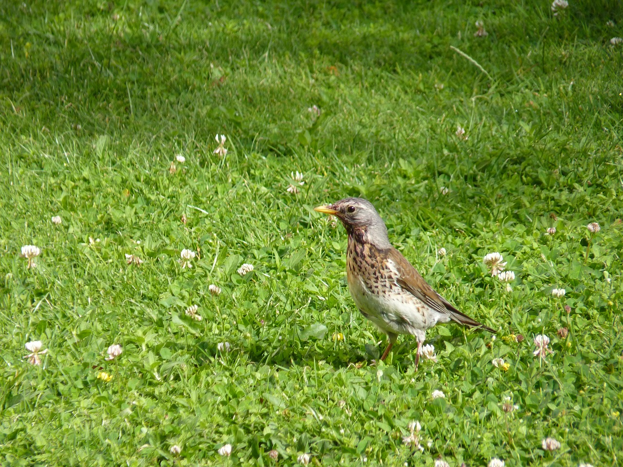 bird fieldfare close free picture