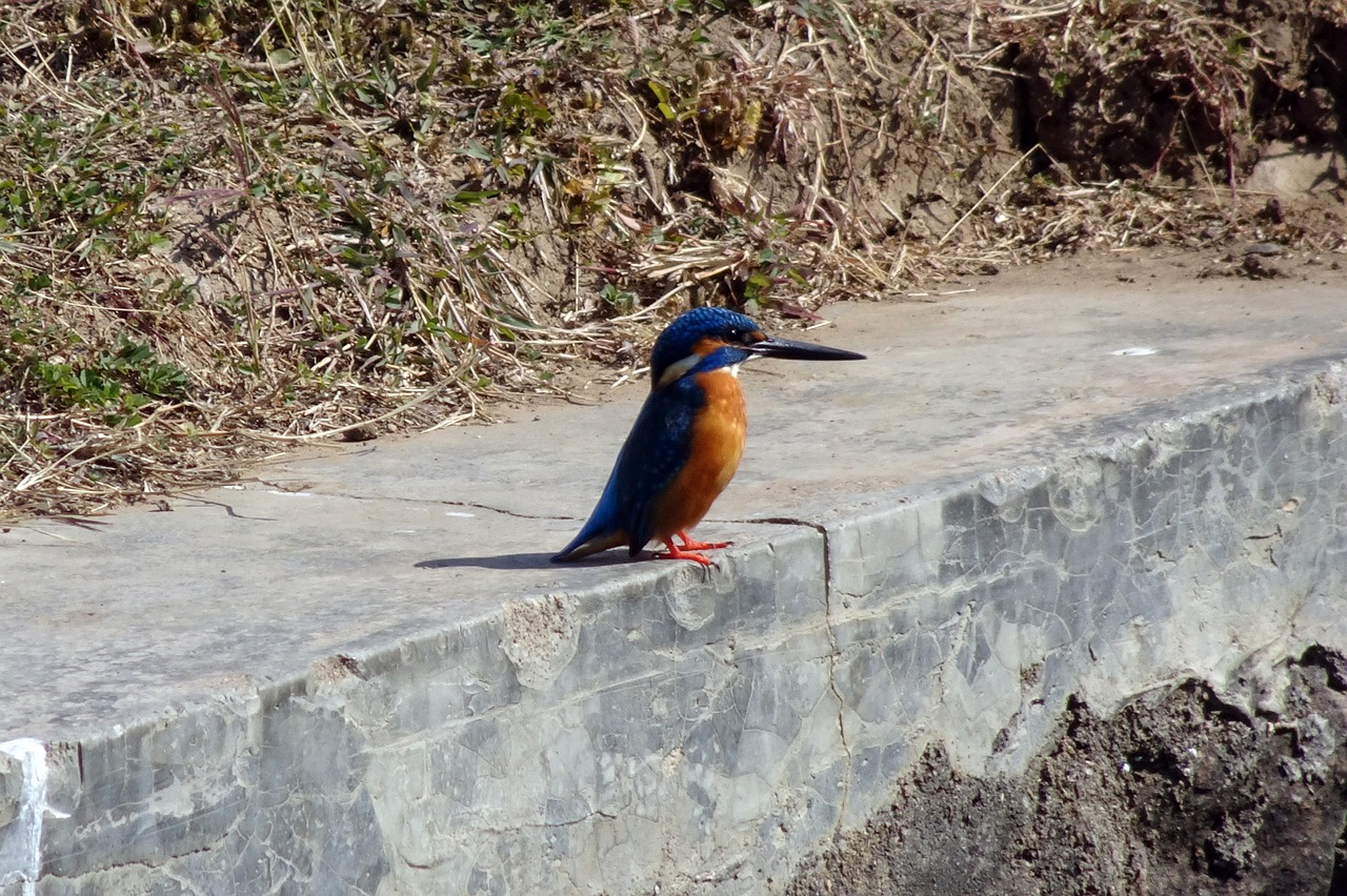 bird, common kingfisher, alcedo atthis, eurasian kingfisher, river kingfisher, avian, nature, alcedinidae, gujarat, india,free pictures, free photos, free images, royalty free, free illustrations, public domain