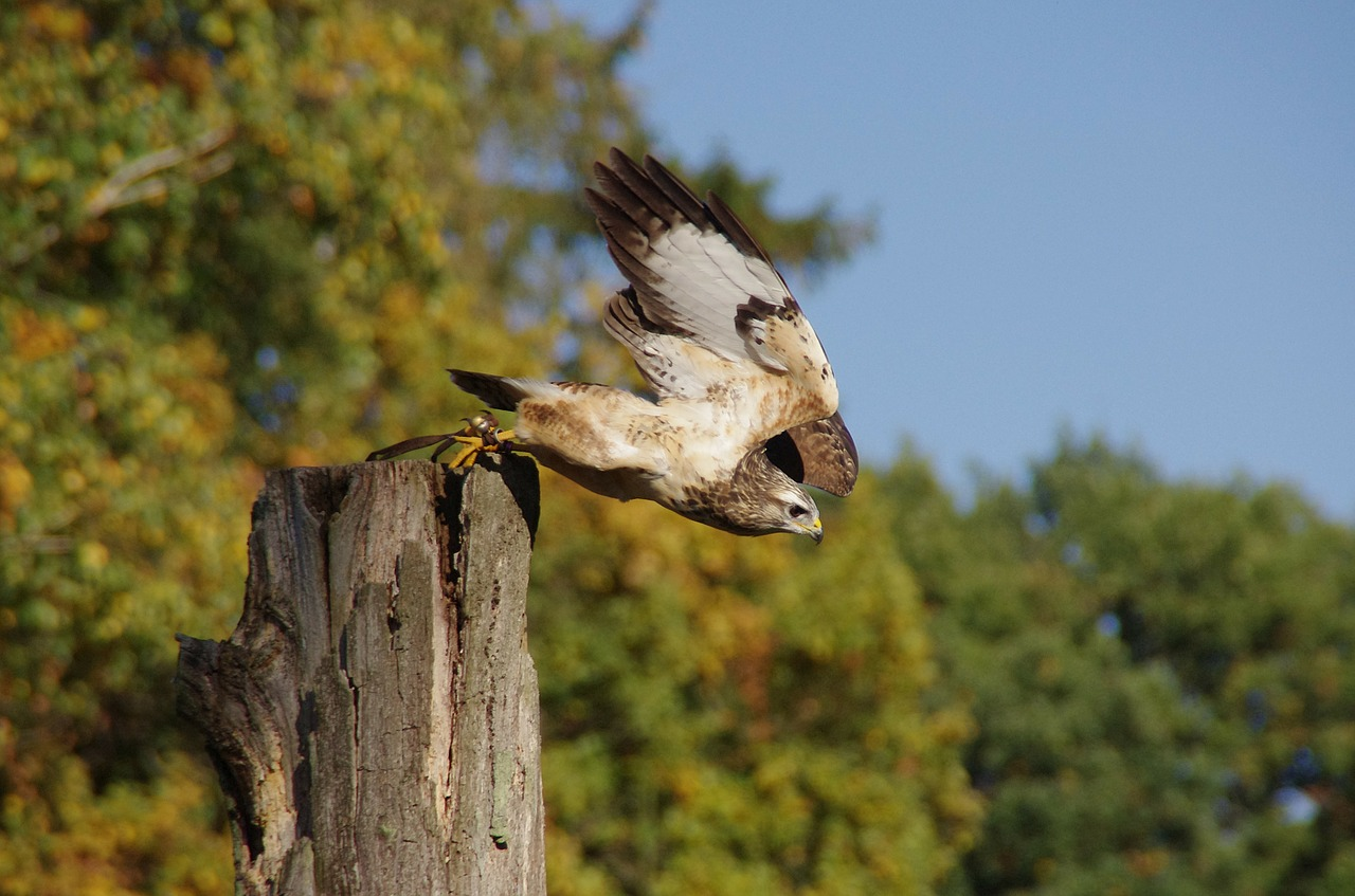 bird raptor buzzard free photo