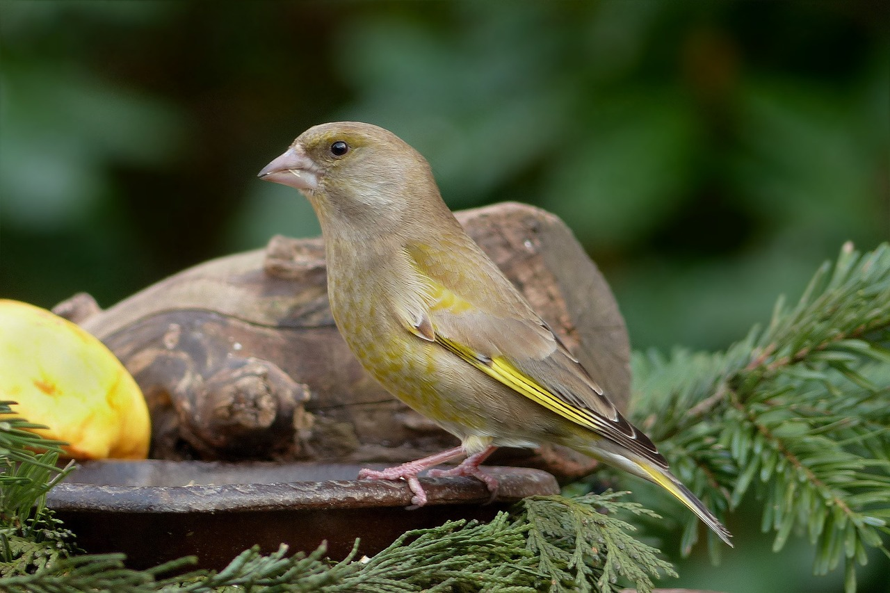 bird small greenfinch free photo