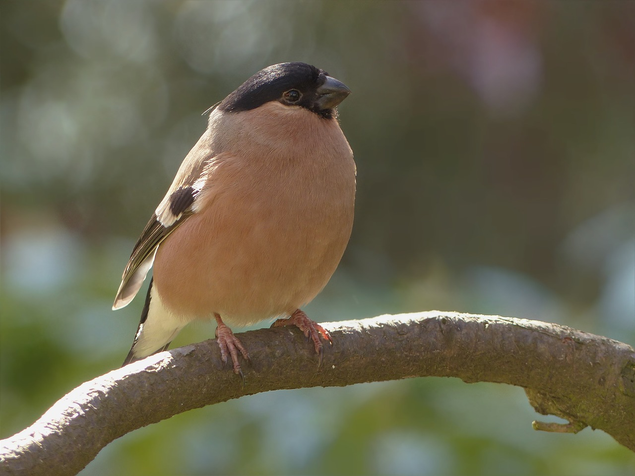 bird bullfinch female free photo