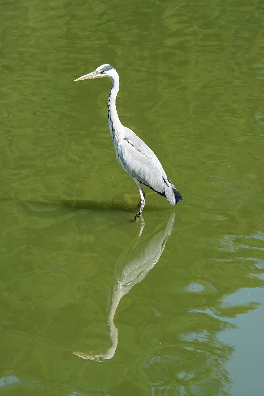 bird,heron,water,free pictures, free photos, free images, royalty free, free illustrations