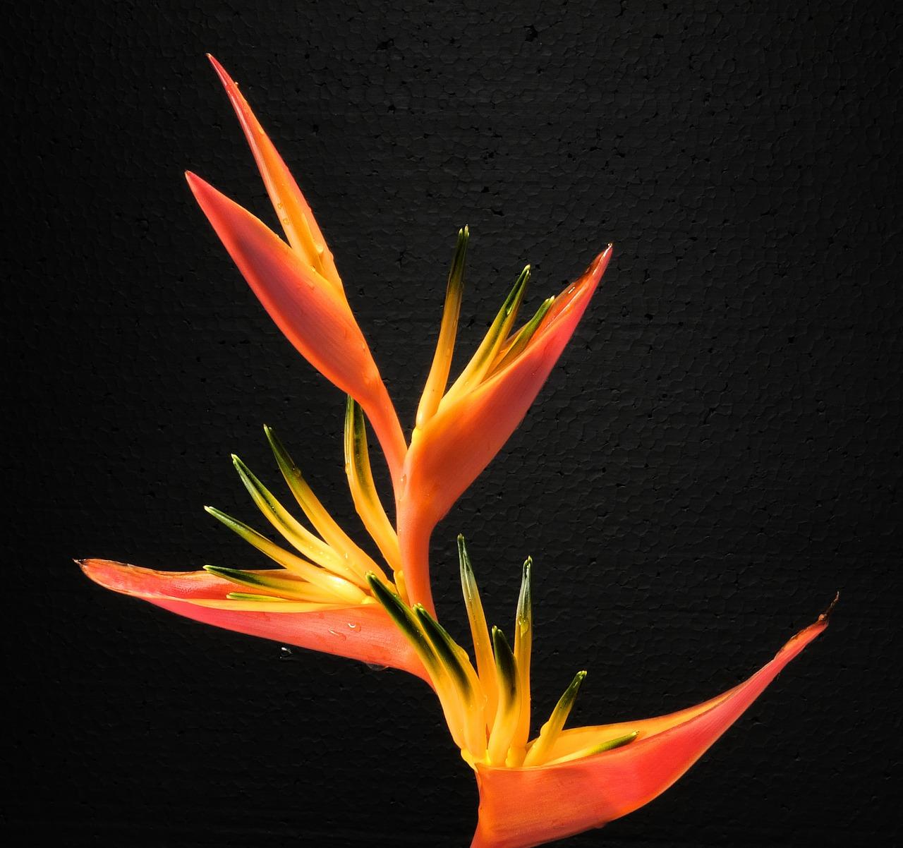 Bird Of Paradise Flowercaudatablossombloomflower Free Photo