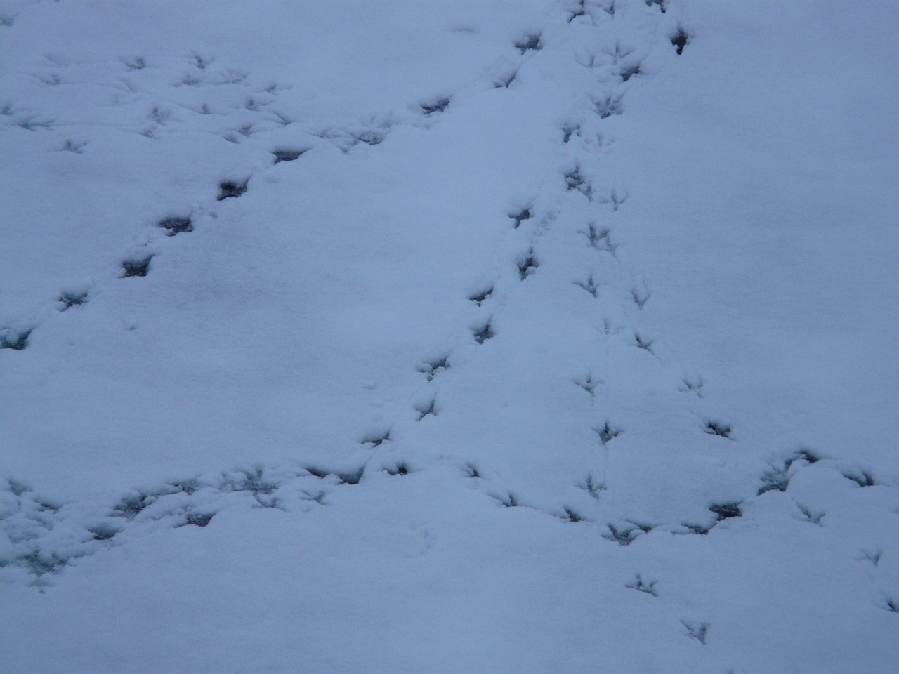 bird tracks animal track reprint free photo
