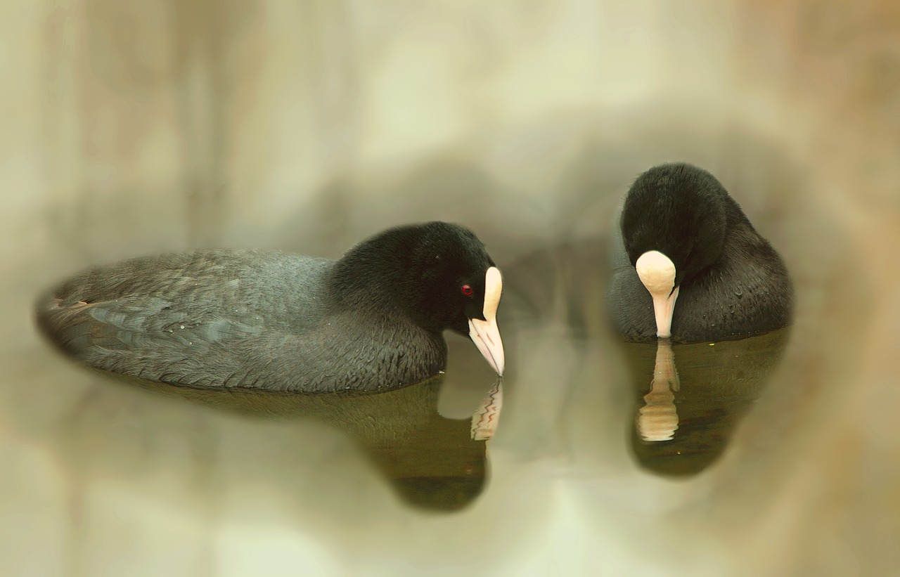 birds coots bird free photo