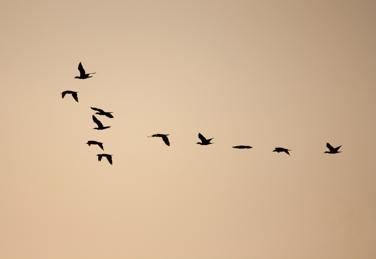 birds formation flock free picture