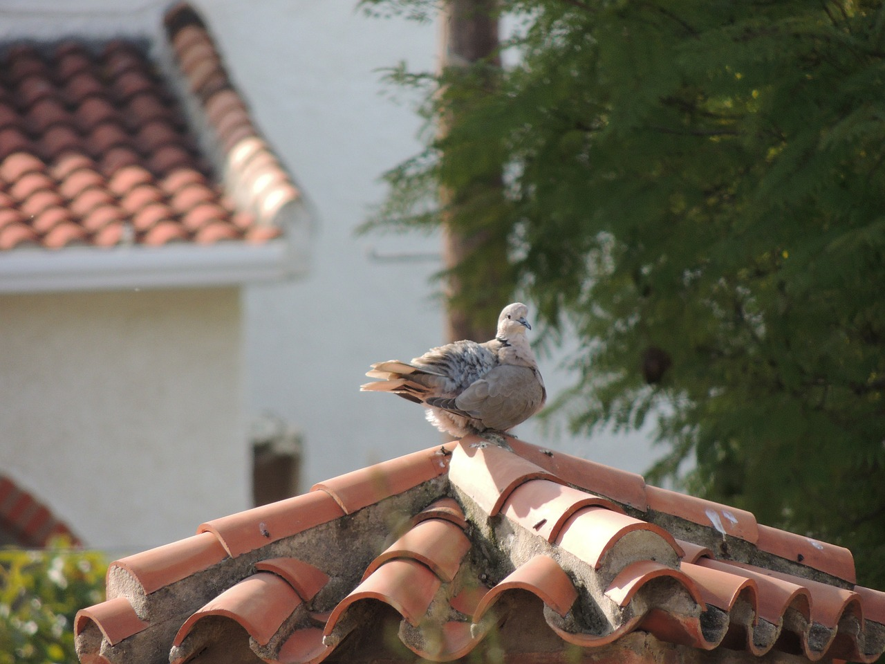 birds pigeons animals free photo