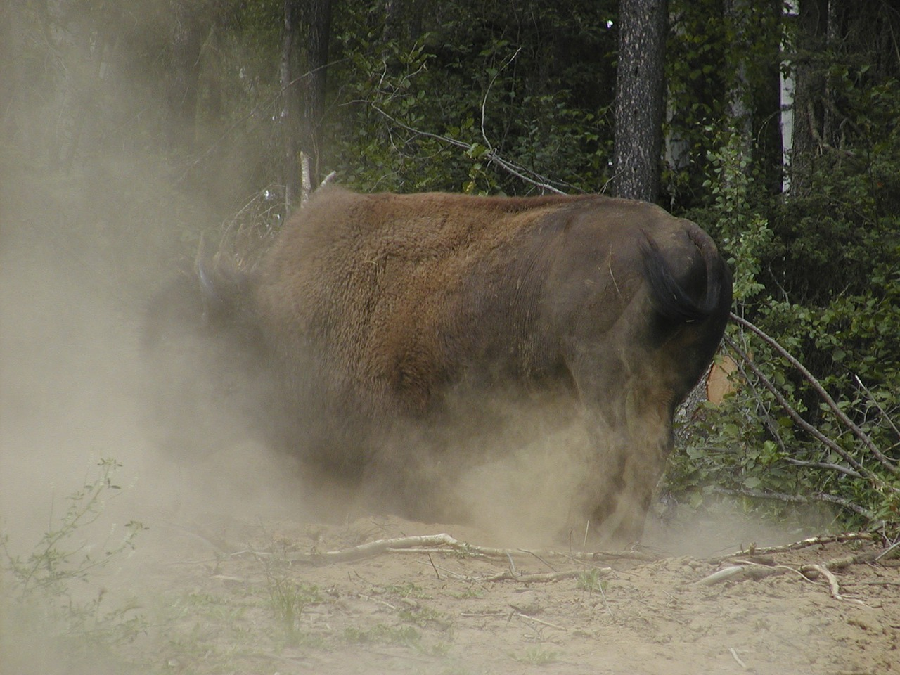 bison yukon dusty free photo