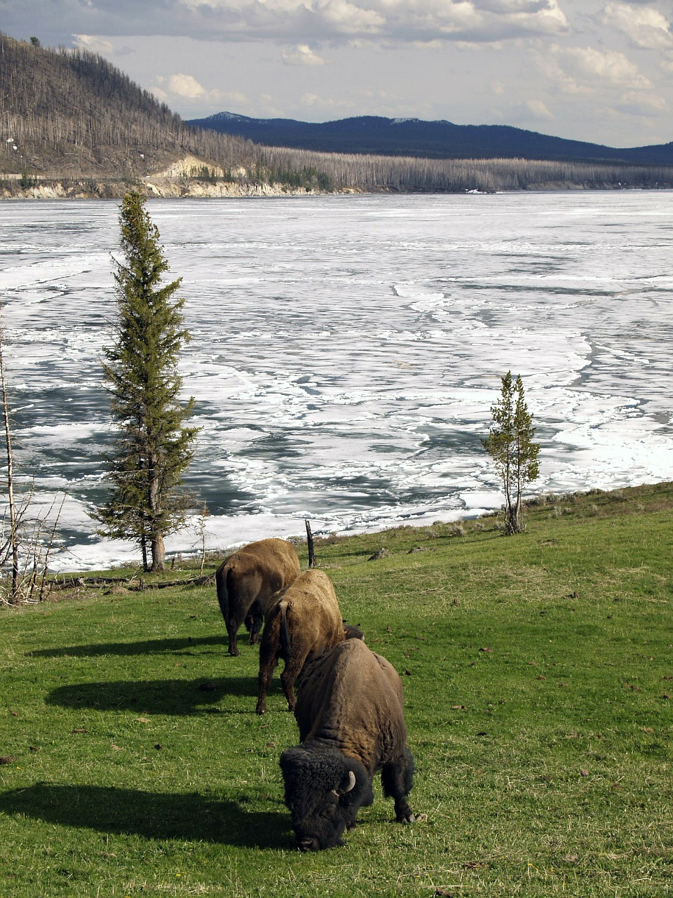 bison winter yellowstone national park free photo