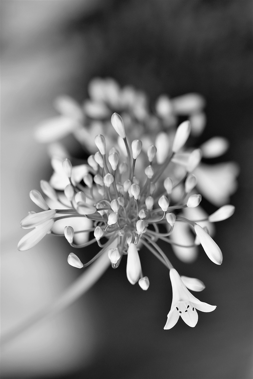 black and white,flower,blossom,bloom,nature,white,plant,black and white photo,black and white recording,close,agapanthus,flowers photography,white flowers,free pictures, free photos, free images, royalty free, free illustrations, public domain
