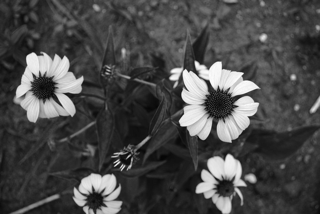 Black And Whiteflowersminnesotablack And White Backgroundnature