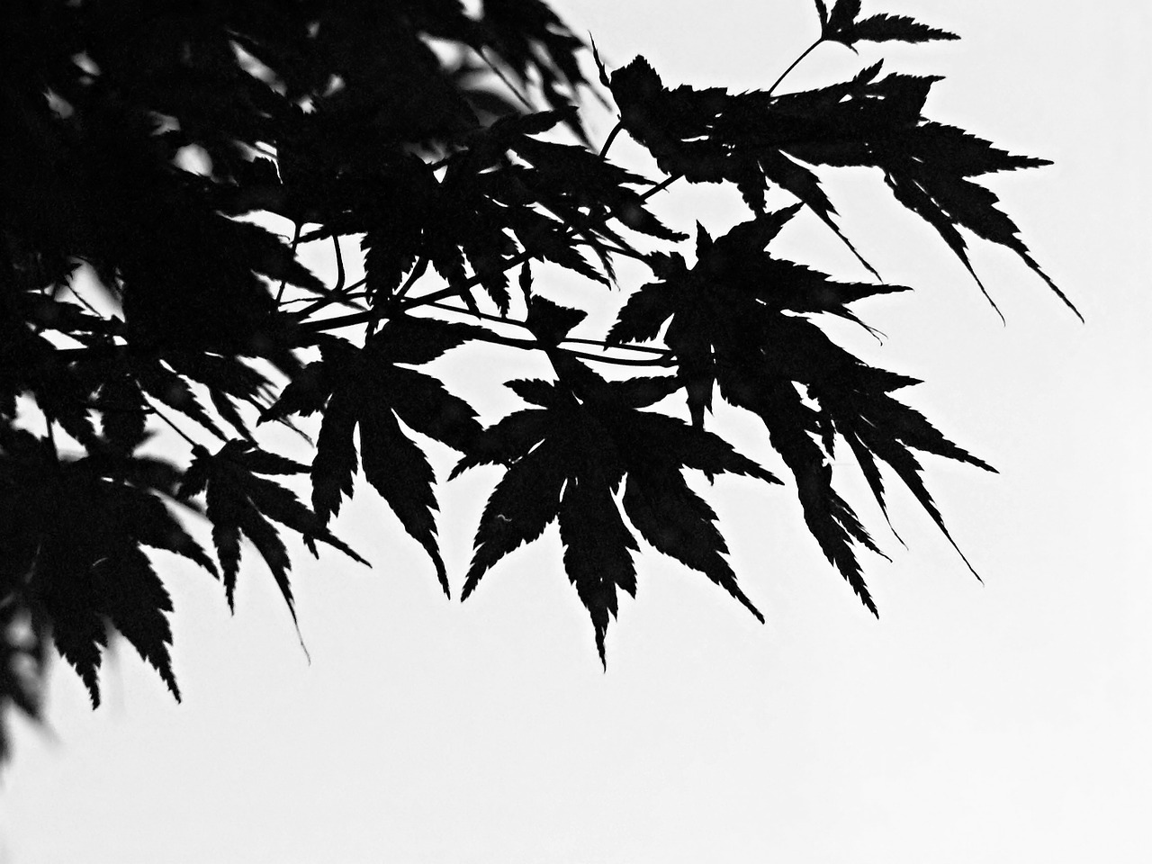 black and white foliage branch free photo